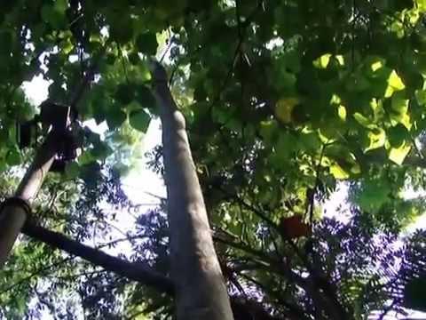 Paricá (Schzolibium amazonucum)  e Pau Jangada (Apeiba tibourbou)