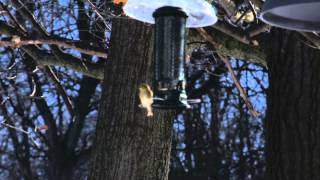 Woodpecker, Finch And Chickadee At The Same Time, 2 Feeders....sunflower And Suet.