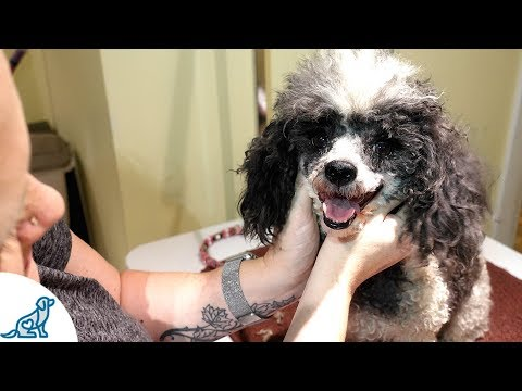 Toy Poodle Grooming At Home, On A Budget (And It Shows)