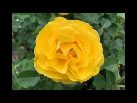 Rose Garden - Huntington Library 2019