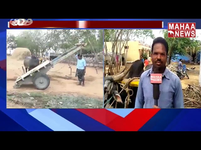 An OX In Anantapur Who Listens To His Owner | MAHAA NEWS
