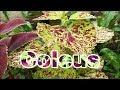 Coleus Plant    How to Grow and Care Coleus Plant    Budget Gardening    (Hindi)