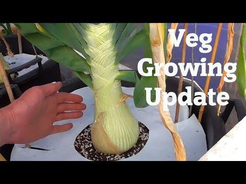 Allotment Diary : Fortnightly Veg Plot, polytunnel & greenhouse update.