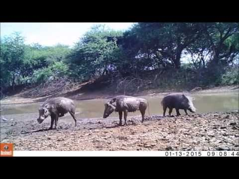 Mawana Game Reserve, KwaZulu Natal, South Africa - Camera traps best shots