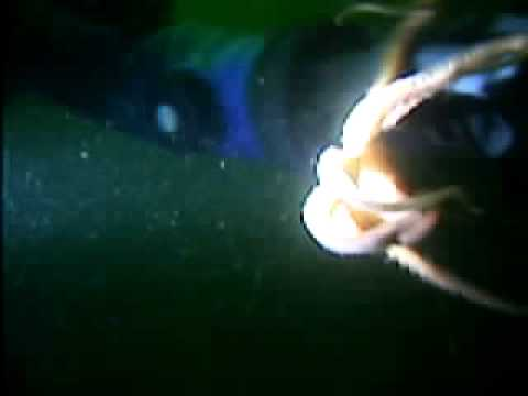 giant killer pacific octopus attacks diver - YouTube