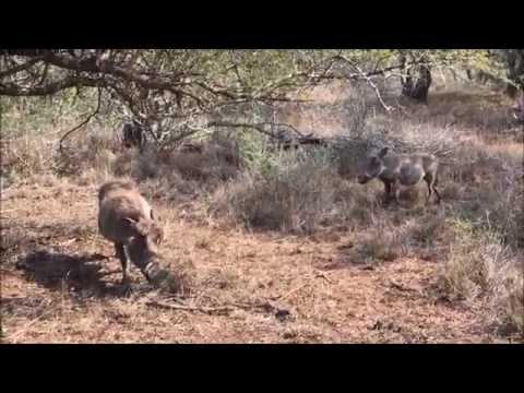 Wild Boar in Swaziland, Africa