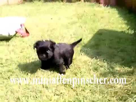 Mini Affenpinscher Puppies For Sale Youtube