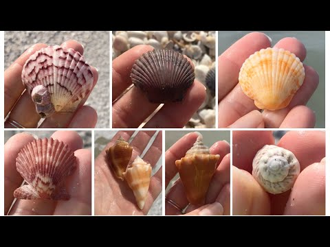 Virtual Beach Walk Sanibel Island + Beach Combing And Finding Sea Shells. Conchs And Scallopalooza!