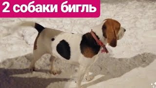 Бигль. 2 собаки породы бигль, мальчик и девочка. The beagle 2 beagle dogs, a boy and a girl.