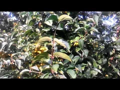 Желтый кизил сорта Янтарный