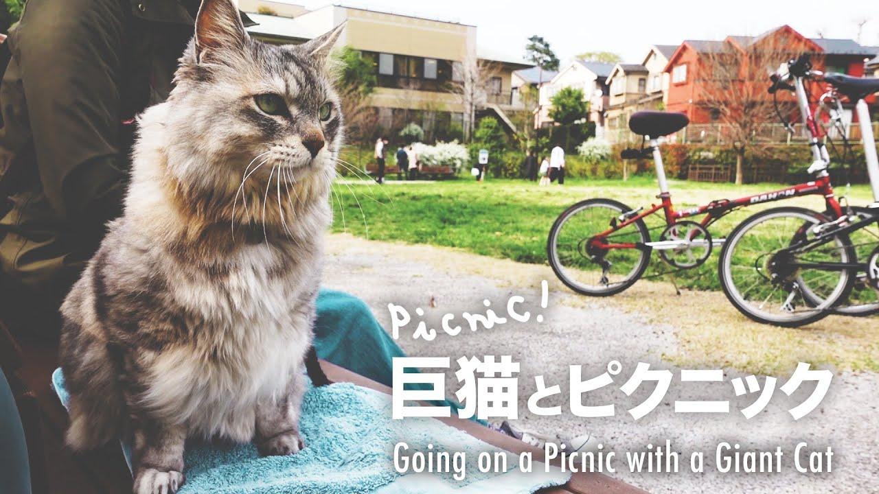 大きい猫とお出かけお外で安心させるコツ【大型サバトラ猫】/How to make your cat feel comfortable outside