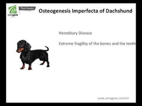 Prevention of Brittle bone disease of Dachshund (osteogenesis imperfecta) - dna test ANTAGENE