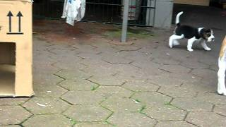 Beagle Max / Welpen