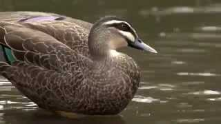3.1 Pacific Black Duck (Game Duck Species)