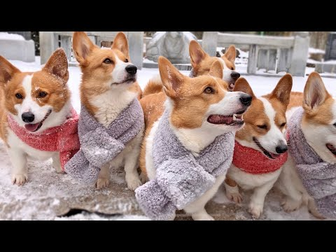 we're-pretty-serious.-8-corgi-house.-'it's-the-national-sled-team-at-heart'-😜