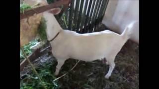 Наш козлятник, козы, козлята & Нужен совет по поилкам для коз