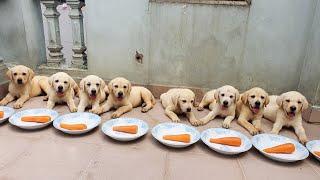 Ngày 51 | Lần Đầu ăn Cà Rốt sống | First time labrador puppies eating carrot - Puppies ASMR