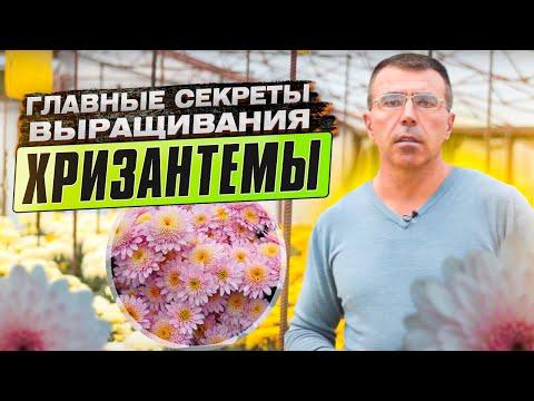 Как развести хризантемы в саду