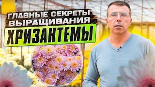 Хризантемы. Секрет выращивания.