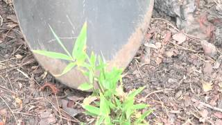 How to Grow Bamboo From Plant Cuttings thumbnail