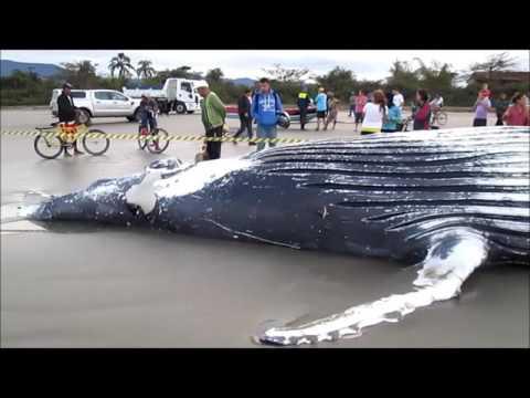 Baleia Morta na Praia do Indaiá - Bertioga