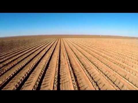 Olive farm/harvesting.. Saida, Algeria.