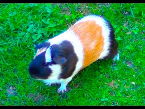 guinea-pig-noises-loud-squeaking-sounds
