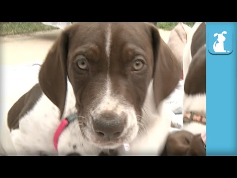So Many German Shorthair Pointer Puppies Eating! – Puppy Love
