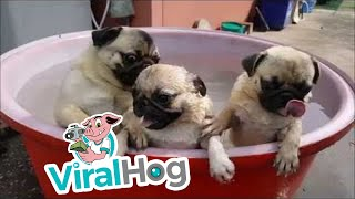 Bath Time for Pugs