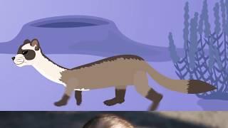 Клип о степном хорьке   Whizpops! Black Footed Ferret