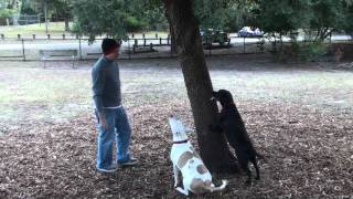 Labrador / Beagle Mix Climbing A Tree