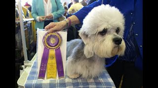 #92 DANDIE DINMONT TERRIER 2/3  | Which Dog Should I Get? Dog Breed Selector