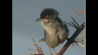 Sardinian  Warbler - Kleine Zwartkop