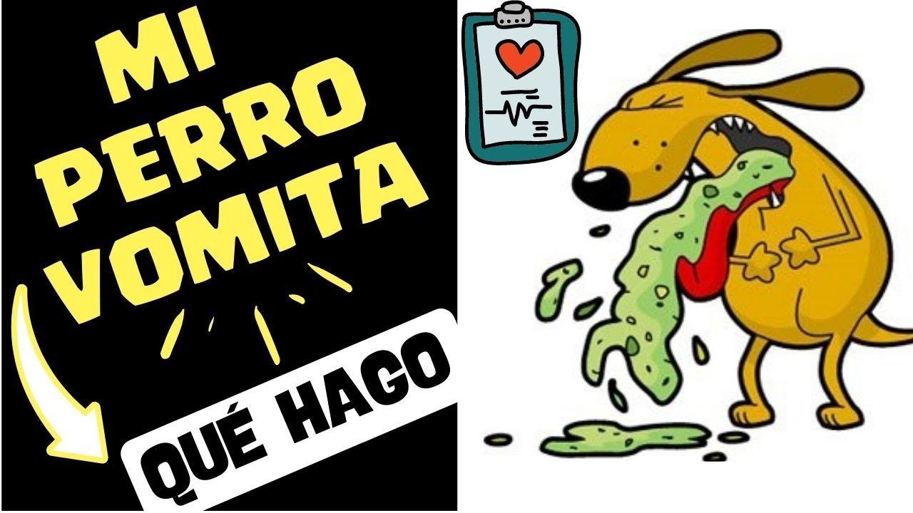 Mi perro vomita como proceder en casos de vomito en los - Es malo banar mucho a los perros ...