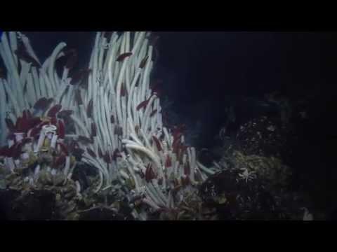 Giant Tube Worms of the Galapagos | Nautilus Live