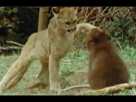 Yavru Ayı Dağ Aslanına Meydan Okuyor
