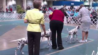 Antelope Valley Kennel Club Dalmatians