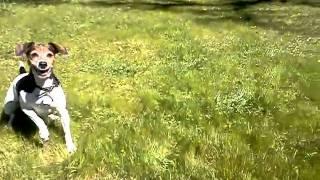 Fox Terrier Beagle Mix