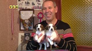 Собаки породы джек-рассел-терьер