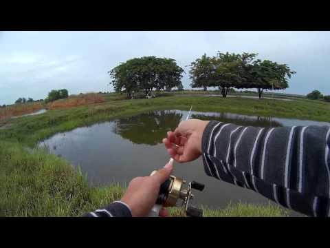 ตกปลาช่อนบ่อร้าง ( Fishing striped snakehead fish ) #1