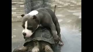Bully Humping Turtle Pt 2
