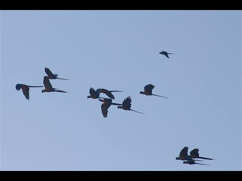 MORNING OF THE MACAWS - Maranon River in AMAZON - Ripper Films