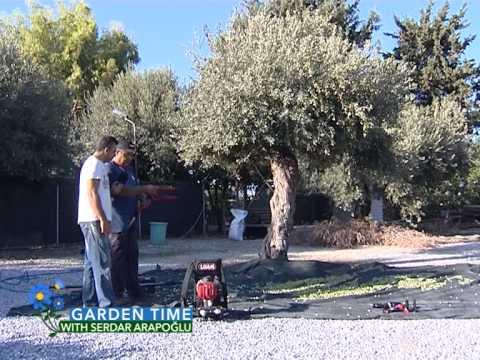 Garden Time ''Olive Harvesting''