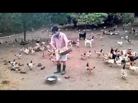 Gà Mía Ông Tâm:  Giống gà tiến vua, gà ta, gà đồi, gà thả vườn.LH 0987006558. website: gamiabavi.com
