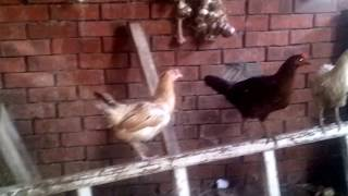 Types of poultry in the farm house