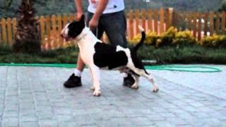 Harley El Dorado Man (bull Terrier) Un Perro Completo (por Kadir Basma Cuellar)