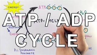 Mechanism of  ATP/ADP Cycle