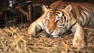 Un uomo aiuta una tigre a partorire e...