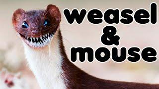 Травоядная ласка(Mustela nivalis) и 25 мышей/Graminivorous weasel(25 mice)