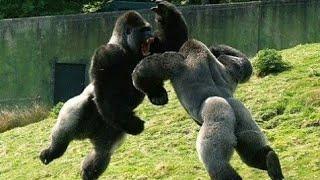 Свирепые битвы животных в дикой природе[Vs]